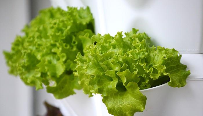 Frischer Blattsalat griffbereit