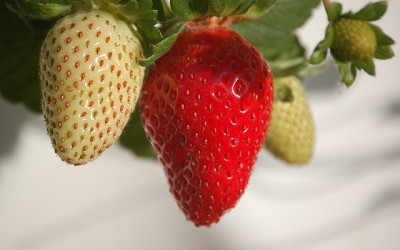 Wie kann ich Erdbeeren zu Hause züchten?